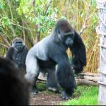 alpha gorilla
