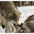 social dominance wolf pack